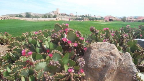the cactii were in full flower too......